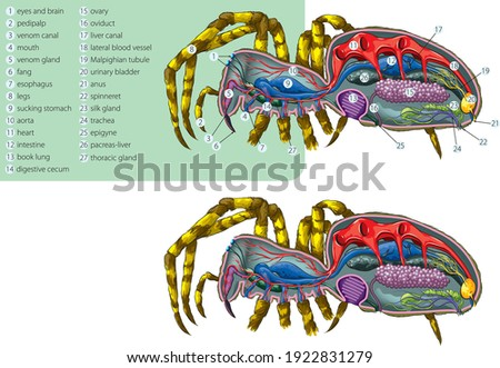 Vector illustration of the simplified internal anatomy of the spider. Stockfoto ©