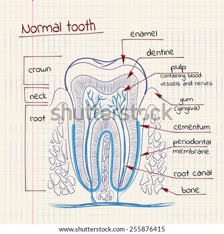 vector illustration of tooth structure in the school notebook