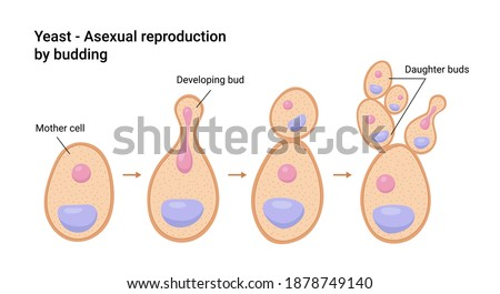 Vector illustration of Yeast. Asexual reproduction by budding Stock photo ©