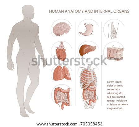 Vector illustration set of complete chart of internal human organs. A medical poster of the human anatomy. Man (male) body.