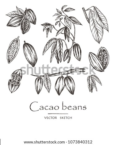 Vector illustration.  Sketched hand drawn cacao beans, cacao tree leafs and branches. Chalk style vector set.
