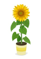 Vector Illustration: sunflower in potted plants isolated on white background.
