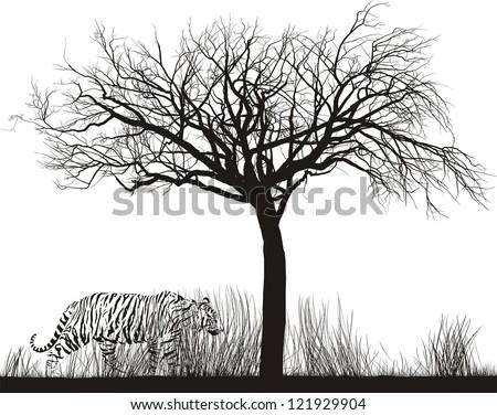 vector illustration tiger in