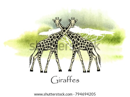 Vector illustration. Vector pen style drawn giraffes on watercolor style background.