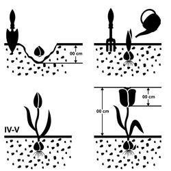 Vector illustrations of scheme growing tulips