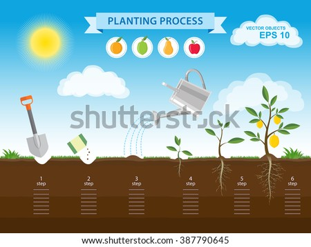 Vector infographic concept of planting process in flat design. How to grow tree from the seed in the garden  easy step by step. Design of garden elements