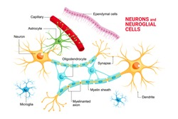 Vector infographic of Neuron and glial cells (Neuroglia). Astrocyte, microglia and oligodendrocyte, ependymal cells (ependymocytes and tanycytes)