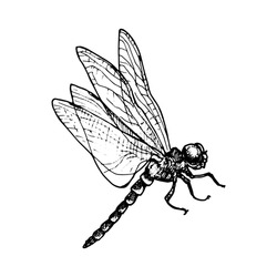 vector ink drawing dragonfly , hand drawn illustration