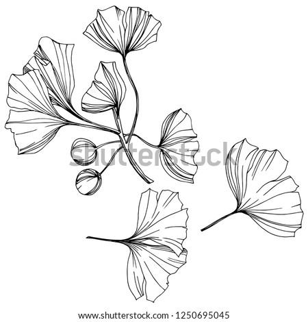 Vector Isolated ginkgo illustration element. Leaf plant botanical garden floral foliage. Black and white engraved ink art on white background. #1250695045