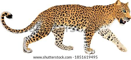 vector isolated leopard or jaguar illustration