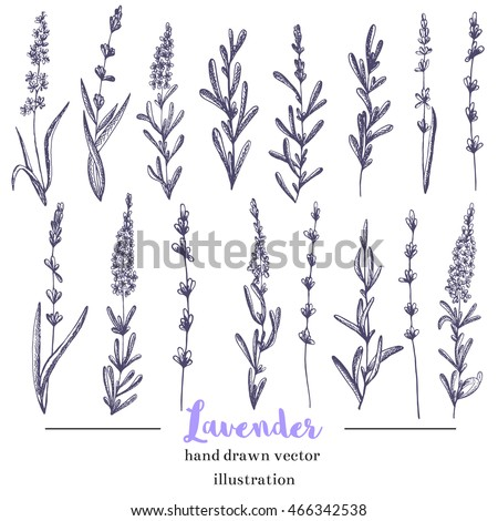 vector lavender hand drawn
