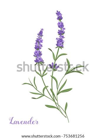 vector lavender illustration