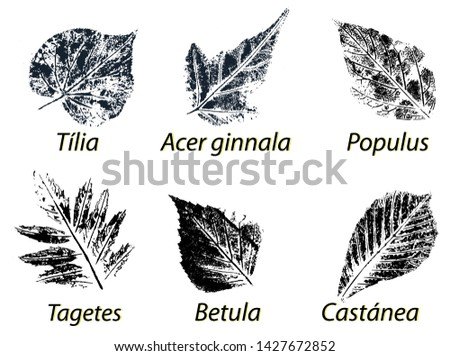 Vector Leaf print. Inkprinted leaves of the trees on paper. Traced vector image. Tilia, acer ginnala, populus, birch, chestnut, tagetes.
