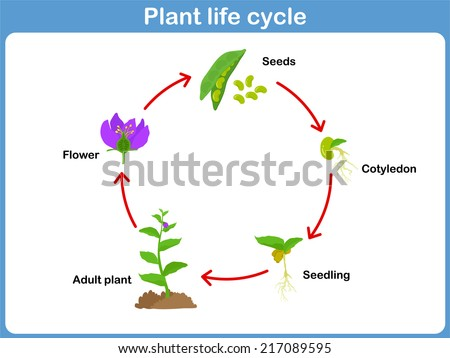 Free Plant Life Cycle Vector Download Free Vector Art Stock