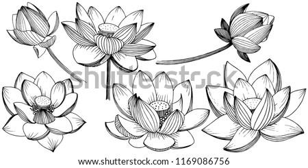 vector lotus flower floral