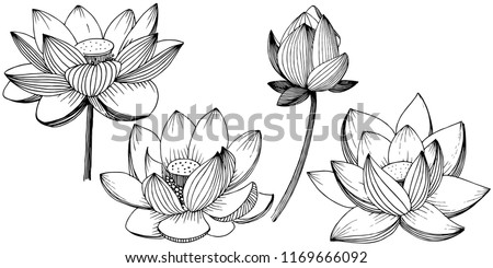 vector lotus flower floral