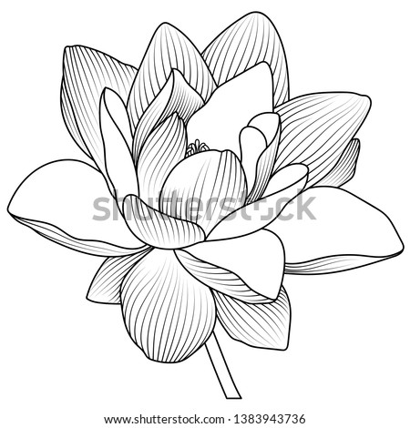 Vector lotus flower.Lotus seed pods. Isolated illustration element. Vector  hand drawn lotus flowers and leaves. Sketch floral botany collection in graphic