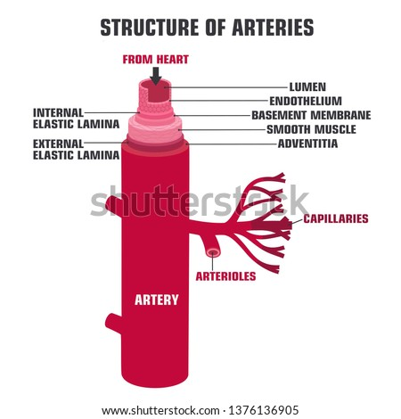 Vector medical structure artery icon. Artery in the section with the description. Artery anatomy illustration in flat minimalism line style. Сток-фото ©