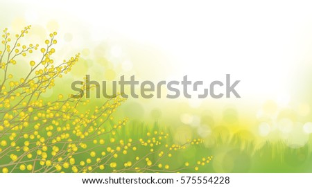 vector mimosa flowers on spring