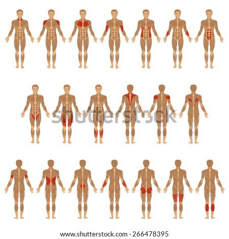 vector muscular human body