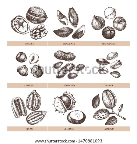 Vector nuts illustrations collection. Hand drawn pecan, macadamia, pine nuts, walnut, almond, pistachio, chestnut, peanut, Brazil nut, hazelnut. Healthy food  outlines set. Engraved style drawings.