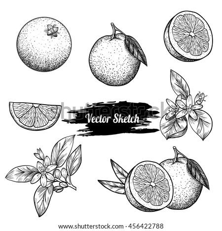 Vector oranges hand drawn sketch. Sketch vector  food illustration. Vintage style