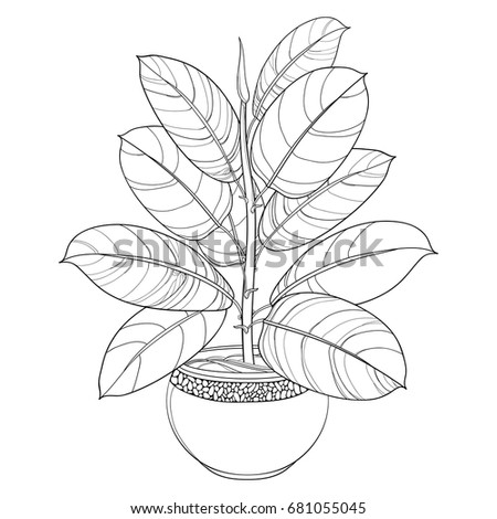 Vector outline houseplant Ficus elastic or rubber plant in round flowerpot isolated on white background. Indoor Ficus in contour style with ornate leaf in black for summer design and coloring book.