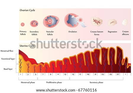 Vector Ovulation chart showing Ovarian cycle and Uterine cycle