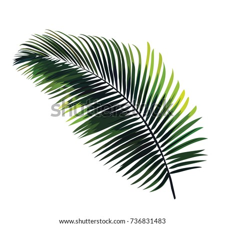 Vector palm leaf isolated on white background. Botanical illustration with a tropical exotic plant