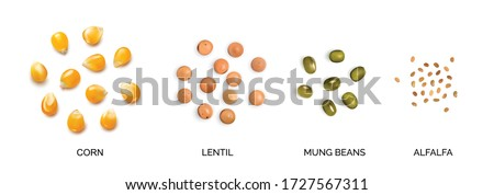 Vector realistic 3d illustration of legumes and corns collection isolated on white background. Edible seeds of lentils, mung beans, alfalfa, corn seeds, maize or sweetcorn kernels