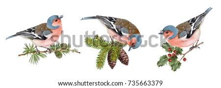 Vector realistic detailed illustration set of finch birds on branches isolated on white background. Winter design elements for Christmas, New year,holidays. Best for greeting card, poster, packaging