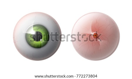 vector realistic human eye ball