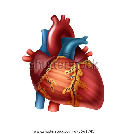 vector red healthy human heart