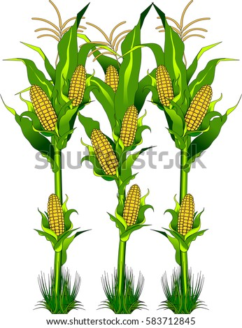 Vector - Ripe fresh yellow corn on the cob vegetable with long green leaves in cartoon style isolated on white background with caption Corn