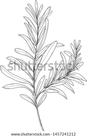 Vector Rosemary. Black and white graphic rosemary picture. Illustration graphic rosemary. Picture for kitchen, cafe, restaurant and design interior.