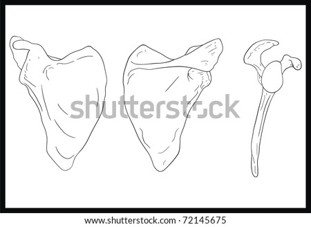 VECTOR - Scapula - Human Body Bone - Front, Back and Lateral View
