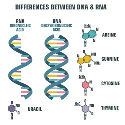 Vector scientific icon spiral of DNA and RNA. An illustration of the differences in the structure of the DNA and RNA molecules. Image poster structure RNA and DNA
