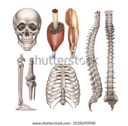 vector set of anatomy realistic