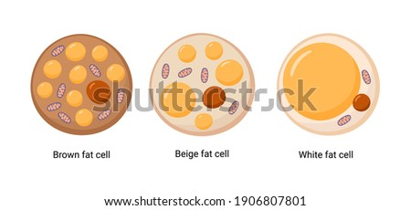 Vector set of brown, beige and white fat cells. Illustration of adipose tissue Foto stock ©