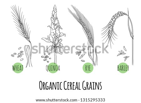 Vector set of cereal grains and plants sketches: wheat, quinoa, rye and barley. Healthy food, bio, organic, natural product