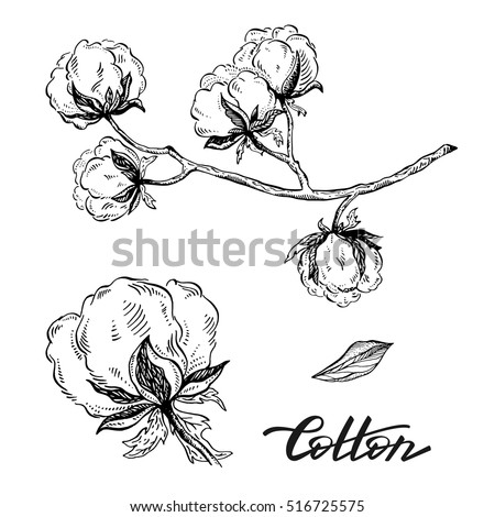 Vector Set Of Hand Draw Ink Cotton Plant And Lettering Botanical Illustrations