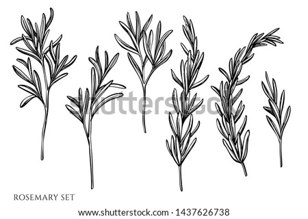 Vector set of hand drawn black and white rosemary
