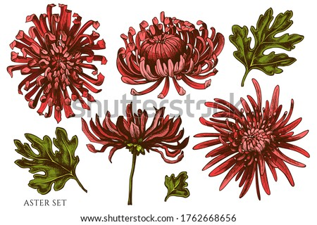 Vector set of hand drawn colored aster Foto stock ©