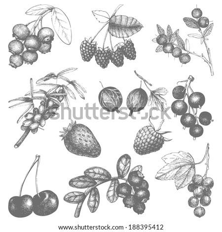 Vector set of hand drawn vintage wild and garden berries.