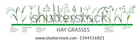 Vector set of hay plants. Sprigs of meadow herbs for cattle, horses, rabbits, sheeps and birds. Botanical simple drawing of pasture grasses. Fodder for green farming.