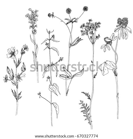 Vector set of ink drawing wild plants, herbs and flowers, monochrome botanical illustration in vintage style, isolated floral element, hand drawn illustration #670327774