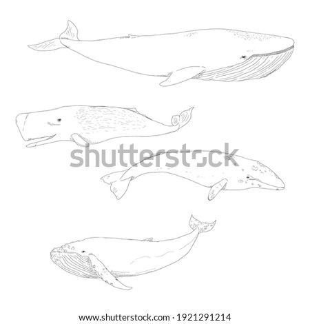 Vector Set of Sketch Whales. Blue Whale, Cachalot, Gray Whale and Humpback Whale.