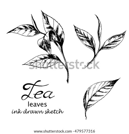 Vector set of tea leaves. Ink drawn herbal illustration in sketch style for print, card, wrapping, textile and other vintage design.