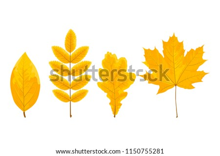 Vector set of the maple, oak, rowan and chokeberry yellow leaves isolated on the white background.