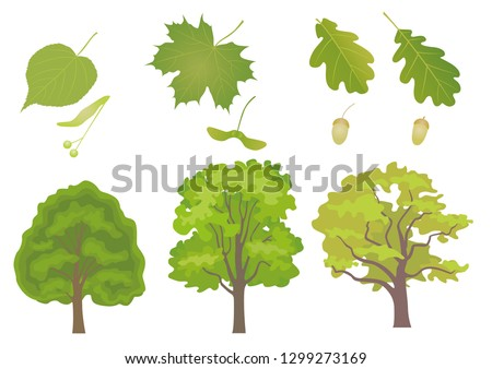 Vector set of three common European forest trees with detail of leaf and fruit. Tilia cordata, acer platanoides, quercus robus, quercus petraea.